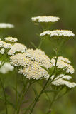 Achillea millefolium Royalty Free Stock Photo