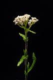 Achillea millefolium Royaltyfri Bild