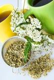 Achillea有花/新鲜的欧蓍草茶的millefolium植物 免版税图库摄影