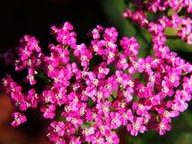 Achillea millefolium Lizenzfreie Stockfotografie