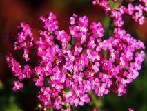 Achillea millefolium Lizenzfreies Stockfoto