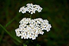 Achillea millefolium Stockbild