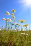Achillea-millefolium, allgemein bekannt als Schafgarbe Stockfotografie