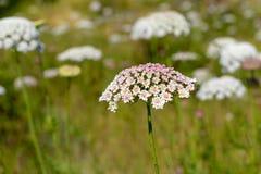 Achillea-millefolium, allgemein bekannt als Schafgarbe Stockfoto