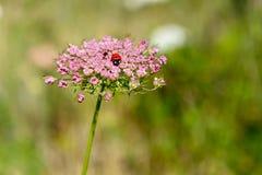 Achillea-millefolium, allgemein bekannt als Schafgarbe Lizenzfreies Stockbild