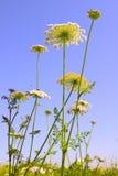 Achillea-millefolium, allgemein bekannt als Schafgarbe Stockfotos