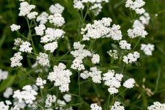 Achillea-millefolium allgemein bekannt als Schafgarbe Lizenzfreie Stockbilder