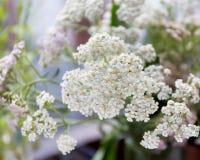 Achillea-millefolium, allgemein bekannt als Schafgarbe wildflower Stockbilder