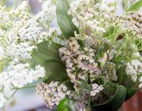 Achillea-millefolium, allgemein bekannt als Schafgarbe wildflower Stockfotos