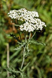 Achillea-millefolium, Asteraceae Stockfotografie