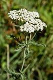 Achillea millefolium, Asteraceae Stock Photography