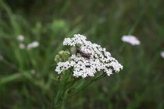 Achillea-millefolium Betriebsabschluß oben Stockfotos