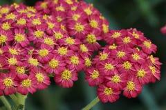 Achillea millefolium Blume Lizenzfreie Stockfotografie