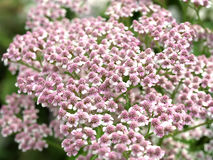 Achillea millefolium Blume Stockfotos