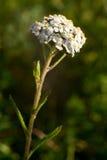 Achillea millefolium. Common yarrow white blossom. Achillea millefolium bloom. Flower blooms Stock Photo
