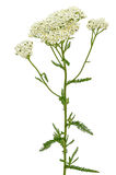 Achillea millefolium flower Royalty Free Stock Image