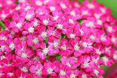 Achillea millefolium flowers Stock Image