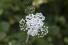 Achillea-millefolium (gemeine Schafgarbe) Wildflower Lizenzfreie Stockbilder