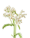 Achillea millefolium L., milfoil royalty free stock photography