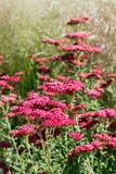 Achillea Millefolium (roter Samt) Lizenzfreies Stockbild