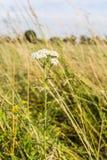 Achillea-millefolium, Schafgarbe, gemeine Schafgarbe Stockfotografie