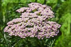 Achillea-millefolium Sommer-Pastelle Stockfoto