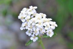 Free Achillea Millefolium White Flowers Stock Images - 191264854