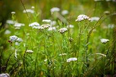 Achillea millefolium (yarrow) white wild flower. On green meadow royalty free stock photo