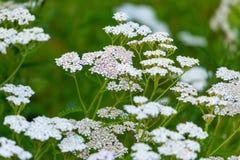 Achillea millefolium yarrow white wild flower. On green meadow stock photos