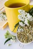 Achillea millefoliumväxt med blommor/nytt Yarrowte Royaltyfri Fotografi