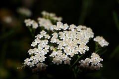 Achillea-millefoliumwhite Blumen der gemeinen Schafgarbe schließen herauf Draufsicht, wie Blumenhintergrund gegen Grün Gras verwi stockfoto
