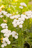 Achillea ptarmica. Flowers close up background royalty free stock image
