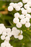 Achillea ptarmica. Flowers close up background stock image