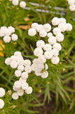 Achillea ptarmica royalty free stock photos