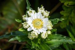 Achillea-ptarmica Wildflowers der Sonnenbraut auf Rebun-Insel, Japa Stockbilder