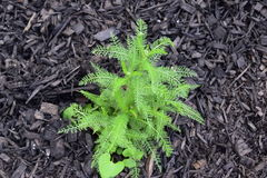 Achillea sprouting in black mulch royalty free stock photo