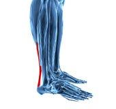 Achilles ścięgno z niskimi noga mięśniami ilustracja wektor