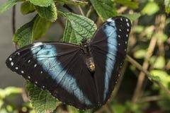 Achilles Morpho, blauw-Gestreepte vlinder Morpho Stock Foto's