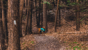 Achilles The Dog Leading The Way Royalty Free Stock Photo
