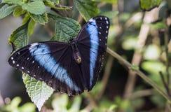 Achilles Morpho, blauw-Gestreepte Morpho-vlinder Royalty-vrije Stock Afbeeldingen