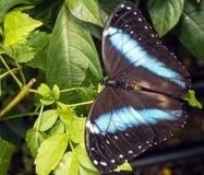 Achilles Morpho, blauw-Gestreepte vlinder Morpho Stock Afbeeldingen