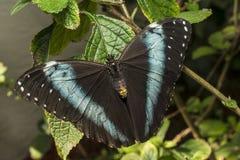 Achilles Morpho, blauw-Gestreepte vlinder Morpho Royalty-vrije Stock Afbeeldingen