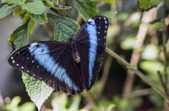 Achilles Morpho, borboleta Azul-unida de Morpho Imagens de Stock Royalty Free