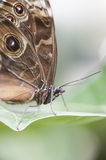 Achilles Morpho butterfly Stock Image