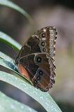 Achilles Morpho butterfly Stock Photo