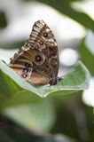 Achilles Morpho butterfly Royalty Free Stock Photography