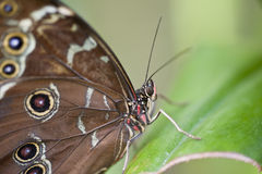 Achilles Morpho butterfly Stock Photography