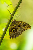 Achilles morpho butterfly on thorny green stem Stock Image