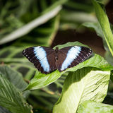 Achilles Morpho Butterfly Stock Images