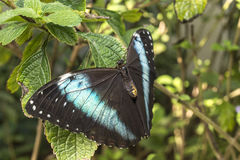 Achilles Morpho, farfalla Blu-legata di Morpho Fotografie Stock Libere da Diritti